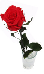 Долгоцветущая роза Amorosa, 55 см