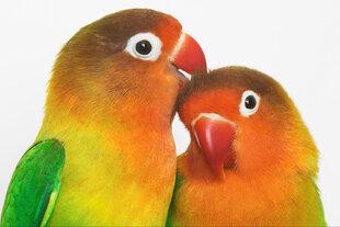 Maal, linnud, L hind ja info | Seinapildid | kaup24.ee